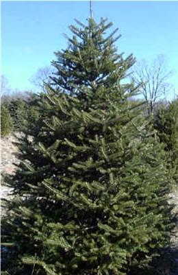 canaan fir diseases