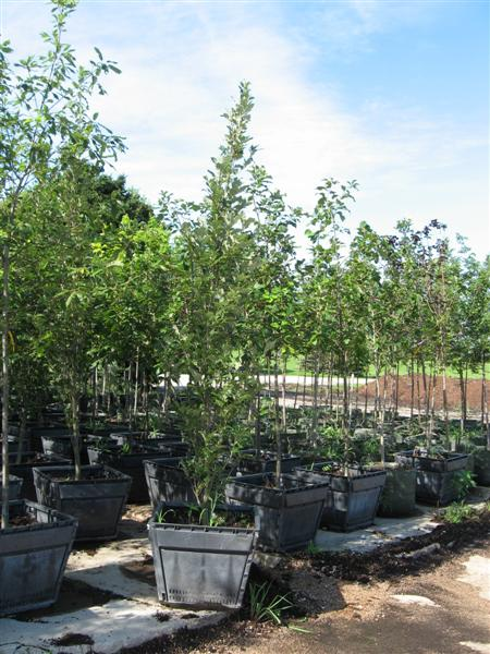 Regal Prince Oak (quercus X Warei U0027Long)