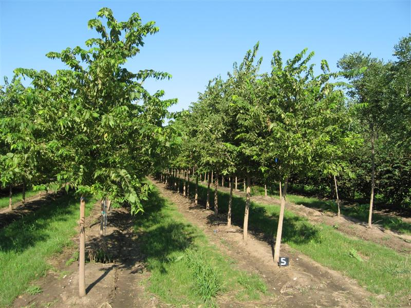 Hackberry2 5 inch to 3 5 inch hackberry are rugged compact trees