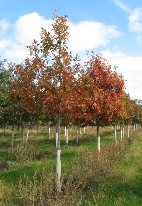 Red Oak These Oaks Are The Fastest Growers In Family