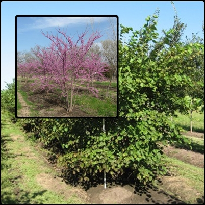 Tree for naturilized garden areas or a graceful addition to a small